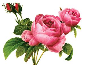 0cover rose garden